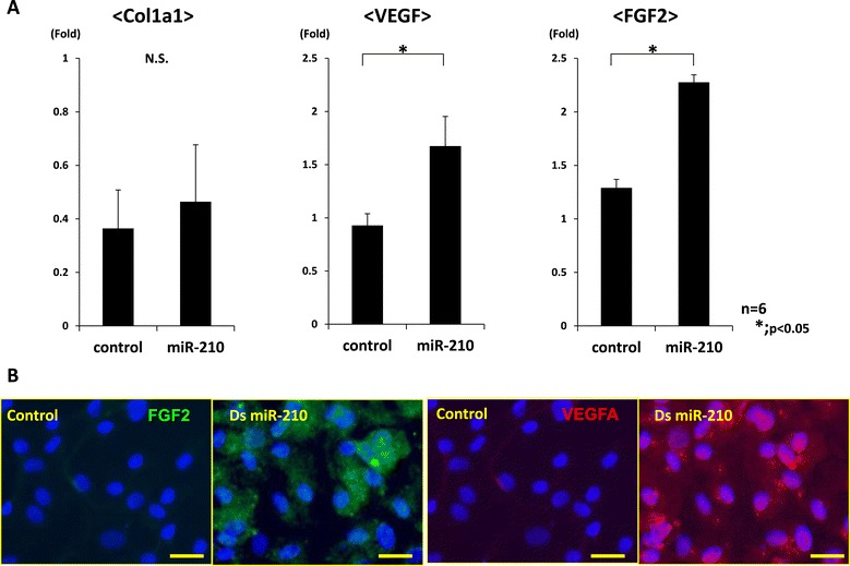 Gene expression analyses in synovial cells after overexpression of miR-210. (A) Real-time PCR analysis of collagen type 1 alpha 1 (Col1a1), collagen type 2 alpha 1 (Col2a1), vascular endothelial growth factor (VEGF) and fibroblast growth factor-2 (FGF2) at 7 days after in vitro transfection of synovial cells. Expression of Col2a1 was not detected in both groups. Expression of VEGF and FGF2 was significantly higher than in the control group (* P