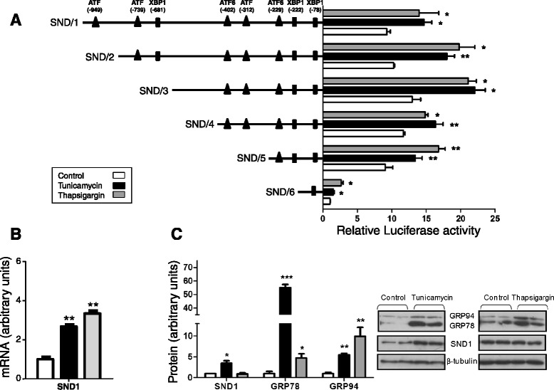 Activation of human SND1 gene promoter activity and expression by endoplasmic reticulum stress. A) HepG2 cells were transfected with a luciferase reporter gene driven by six different constructs of the human SND1 gene promoter SND/1-6 and used 24 hours later. Cells were incubated with 5 μg/ml tunicamycin (black) or 1 μM thapsigargin (grey) or the corresponding vehicle (white, control) 2 hours before transfection. Luciferase activity was calculated using a dual luciferase assay and expressed as fold increase relative to the activity of the SND/6 fragment in control cells as described in Methods . B) Levels of SND1 mRNA were determined by quantitative real-time PCR in treated and non-treated HepG2 cells and expressed as relative units, setting to 1.0 the value for control cells. C) SND1 and chaperones GRP78 and GRP94 protein expression was determined by western blotting using β-tubulin as a loading control and expressed as relative units, setting to 1.0 the value for control cells. Data are presented as mean ± SD from at least three independent experiments. * P