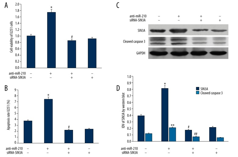 ( A ) Impact of SIN3A gene expression changes on the proliferation ability of U251 cells. ( B ) Impact of SIN3A gene expression changes the apoptosis rate of U251 cells. ( C ) Western blot analysis for SIN3A and cleaved Caspase3 expression of U251 cells treated with anti-miR-210 and siRNA-SIN3A transfection. GAPDH was used as a reference control. ( D ) quantitative analysis of the relative protein levels of SIN3A and cleaved Caspase3 normalized to those of GAPDH was shown. *, ** P