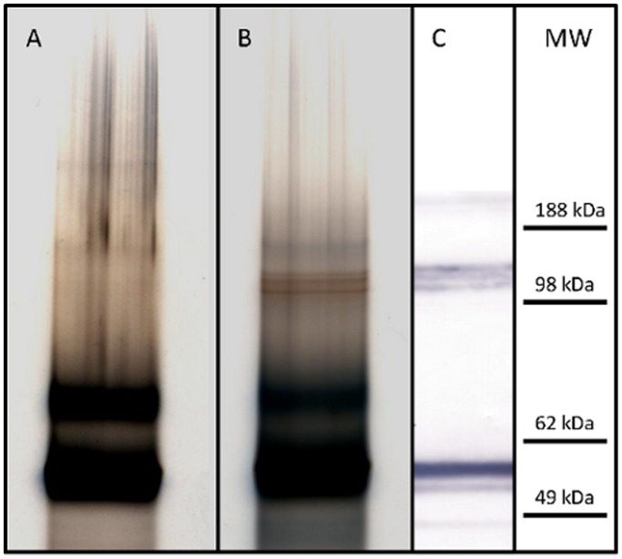 High-resolution MES-PAGE analysis of Arepanrix (lane A) and Pandemrix (lane B) H1N1 antigen suspensions under reducing conditions, and immunostaining of the separated proteins in Pandemrix by western blotting using anti-NP antibody (C). A set of sharp bands at approximately 120 kDa molecular weight could be seen in Pandemrix (B) but not in Arepanrix sample (A). These bands in Pandemrix were identified by mass spectrometry to be polymeric forms of the influenza virus nucleoprotein (NP) and by western blotting with anti-NP antibody (C).