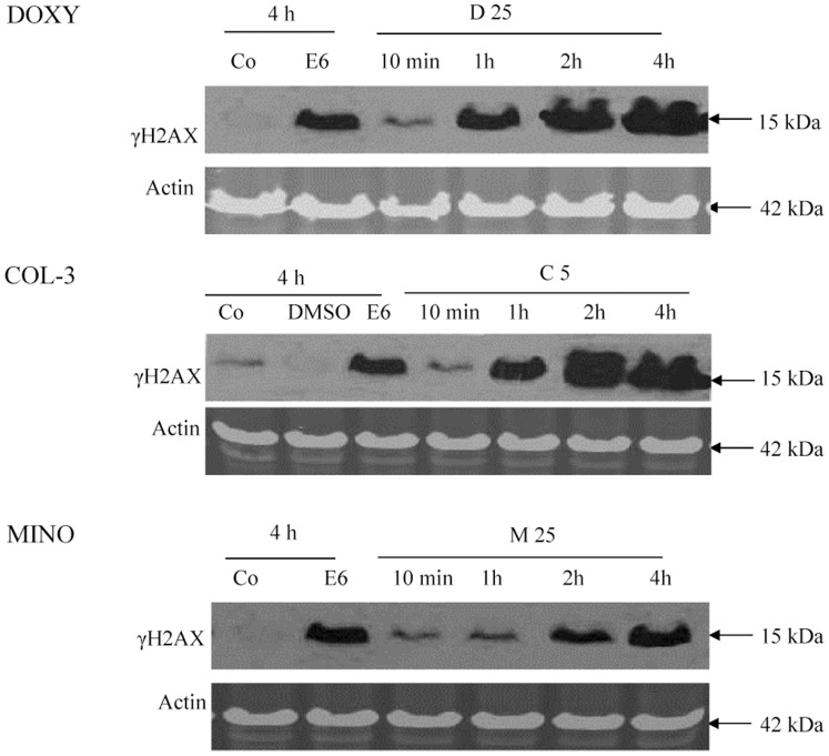 The effect of TCNAs on DNA. HL-60 cells were incubated with DOXY or MINO in final concentrations of 25 µg/ml or COL-3 in a final concentration of 5 µg/ml for 10 min and 1, 2 and 4 h. Cells incubated in DMSO in a final concentration of 0.2% were used as controls for solvent toxicity and cells incubated in complete medium served as controls. Cells incubated with etoposide in a final concentration of 6 µg/ml served as positive controls for apoptosis. The TCNAs-induced DNA damage was assessed using SDS-PAGE and immunostaining for the DNA double strand breaks marker γH2AX. Co: control, E: etoposide, D: DOXY, M: MINO and C: COL-3.