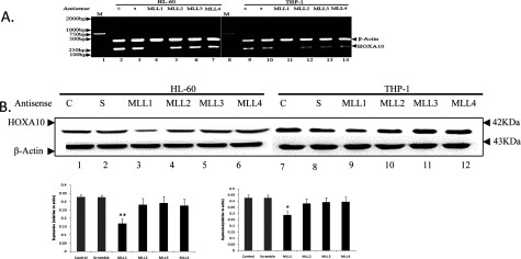 Effect of MLLs on expression of HOXA10 HL-60 and THP-1 cells were grown up to 60% confluency and then separately transfected with phosphorothioate oligonucleotides specific for MLL1, MLL2, MLL3 and MLL4 phosphorothioate oligonucleotides using Lipofectamine 2000 (Invitrogen). Control cells were treated with a scramble antisense oligonucleotide with no homology with the MLL1, MLL2, MLL3 or MLL4 gene. The antisense oligonucleotide-transfected cells were incubated for 24 h, and then cells were harvested and total RNA and protein was isolated and analysed by RT–PCR and Western blot. The t test was used to examine the difference between groups.* P
