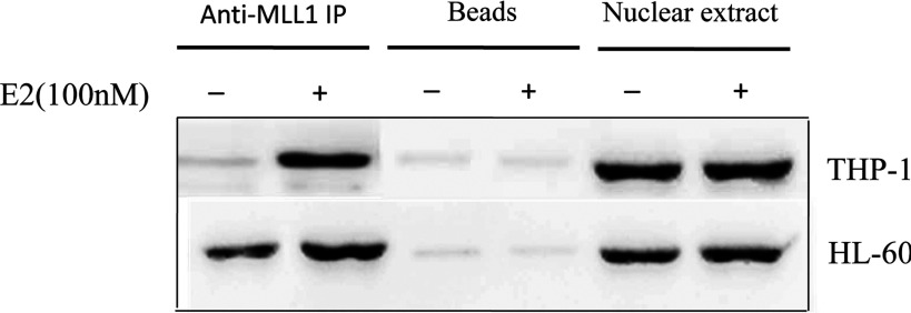 The interaction of MLL1 and ERs of HOXA10 promoter HL-60 and THP-1 cells were treated with 100 nM E2 for 8 h before being harvested for preparation of nuclear extract. The extracts were immunoprecipitated by using MLL1 antibody. The immunoprecipitated MLL1 complexes were then analysed by Western blot, using ERa antibodies. Immunoprecipitation with protein G agarose beads was used as negative control.