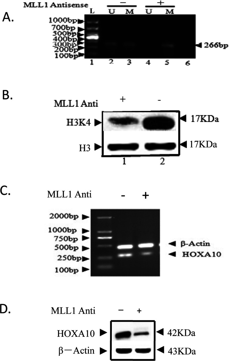 The difference of H3K4 methylation status, HOXA10 promoter methylation status and HOXA10 expression with and without MLL1 knockdown HL-60 was grown up to 60% confluency and then separately transfected with phosphorothioate oligonucleotides specific for MLL1 phosphorothioate oligonucleotides using Lipofectamine 2000 (Invitrogen). Control cells were treated with a scramble antisense oligonucleotide with no homology with the MLL1, MLL2, MLL3 or MLL4 gene. The antisense oligonucleotide-transfected cells were incubated for 24 h and then cells were harvested and DNA, total RNA and protein was isolated and analysed by MSP, RT–PCR and Western-blot to test HOXA10 promoter methylation status with and without MLL1 knockdown ( A ), Lane L was 1000-bp DNA ladder. Lane M and U referred to methylation and unmethylation bands of MSP, respectively. The gel images showed the promoter CpG methylation of HOXA10 promoter in acute leukaemia cell line. ( B ) H3K4 methylation status with and without MLL1 knockdown. HOXA10 expression level with and without MLL1 knockdown in mRNA ( C ) and protein ( D ).