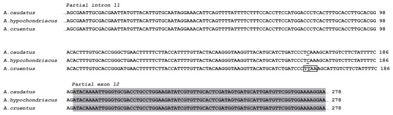 Partial sequence alignment of the SBE locus from A. cruentus , A. caudatus and A. hypochondriacus . Solid black box shows the species-specific restriction cleavage site for the enzyme Mse I. Major SNP, T-C polymorphism is underlined. Shaded area is partial exon 12.