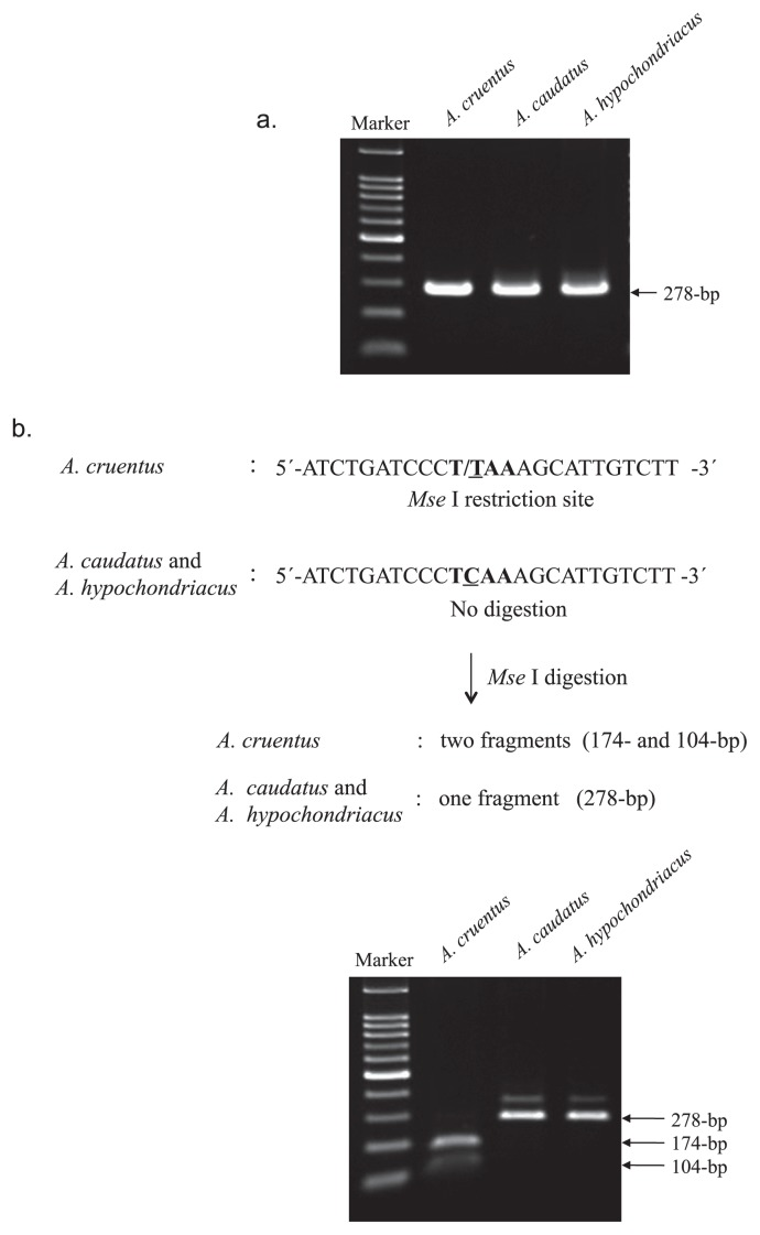 <t>PCR-RFLP</t> method to identify A. cruentus . a. A single 278-bp fragment was amplified from three cultivated grain species of Amaranthus using primers specific for the SBE locus (see Materials and Methods for details). Markers represent a 100-pb DNA ladder. b. Schematic and result of PCR-RFLP for identifying A. cruentus using intron 11 of the SBE locus. Restriction profiles of PCR amplification of intron 11 of SBE followed by digestion with Mse I. Restriction enzyme cleavage site is shown in bold, and one-base substitution, T-C polymorphism is underlined. Markers represent a100-bp DNA ladder.