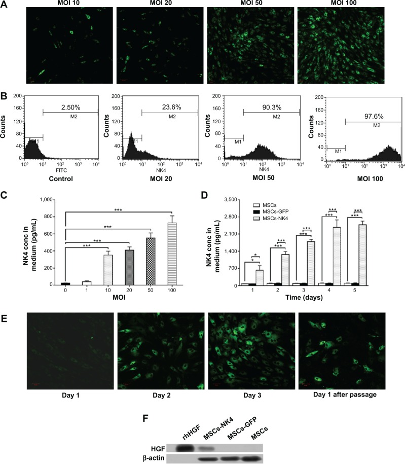 Transduction of NK4 cDNA into human MSCs using a lentiviral vector and characterization. Notes: The recombinant pGC-FU-GFP-NK4-plasmids, the construction plasmids Helper1.0, and the envelope plasmids Helper2.0 (GeneChem Co., Ltd., Shanghai, People's Republic of China) were first cotransfected into 293T cells. MSCs were then transduced with Lenti-NK4 (MSCs-NK4) or Lenti-GFP (MSCs-GFP) at varying multiplicity of infection (MOI). ( A ) Expression of GFP in MSCs observed at day three after Lenti-NK4 infection at MOI of 10, 20, 50, or 100 under fluorescence microscopy, ( B ) transduction efficiency of Lenti-NK4 in MSCs determined by flow cytometry with an GFP marker which was 87.8% of the enriched GFP-expressing MSC population upon sorting with an MOI of 50, ( C ) effect of transduction with Lenti-NK4 at different MOIs from 1 to 100 in MSCs on the production of NK4 in the culture medium, ( D ) effect of time on the production of NK4 in the culture medium after MSCs were transduced with Lenti-NK4 (MOI =50), Lenti-GFP (MOI =50), or not transduced, ( E ) MSCs-NK4 with increased GFP expression observed at different time points (MOI =50, from Day 1 to Day 3), and ( F ) Western blot analysis of NK4-GFP fusion protein with a molecular weight of 84 kDa. Recombinant human HGF (Mr =83 kDa) was used as a positive control. * P