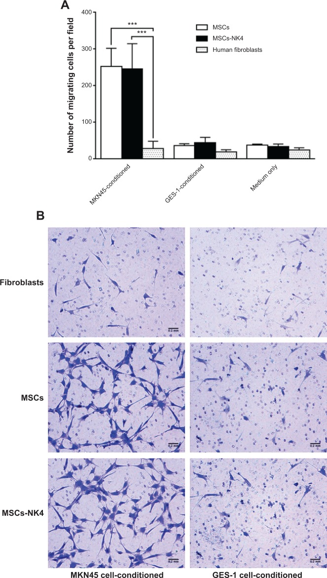 Effects of MKN45 or GES-1 cell-conditioned medium on the migratory ability of MSCs and MSCs-NK4 toward gastric cancer cells determined using a Transwell migration assay. Notes: MNK45 or GES-1 cells were cultured for 24 hours in serum-free medium and then plated onto the bottom wells. MSCs, MSCs-NK4, or human fibroblasts cultured in serum-free medium were seeded onto the upper chamber and cultured for 24 hours. The MSCs, MSCs-NK4, or human fibroblasts that attached to the top side of the membrane were removed, and the cells that migrated onto the bottom side were fixed, stained, and counted (five fields per well) at 10× magnification using a microscope. ( A ) MKN45 cell-conditioned medium significantly stimulated the directional migration of MSCs and MSCs-NK4 compared to human fibroblasts. MSCs and MSCs-NK4 significantly migrated to MKN45 cell-conditioned medium, whereas GES-1 cell-conditioned medium or unconditioned medium did not promote the directional migration of MSCs or MSCs-NK4. *** P