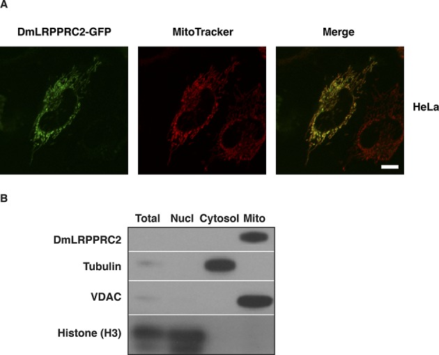 Subcellular localization of DmLRPPRC2. (A) Fluorescence confocal microscopy images showing HeLa cells ( n = 15) expressing a DmLRPPRC2-GFP fusion protein and counterstained with the mitochondrial marker MitoTracker Deep Red. Scale bar: 10 μm. (B) Subcellular fractionation showing the presence of DmLRPPRC2 in the mitochondrial fraction. Subcellular fractions were separated by <t>SDS-PAGE</t> followed by western blot analysis to detect histone H3 (a nuclear marker), tubulin (a cytosolic marker), VDAC (a mitochondrial marker) and DmLRPPRC2. See also Supplementary Figure S1A and B.