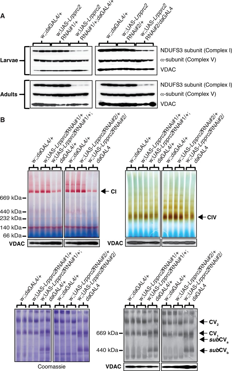Steady-state levels and activities of the OXPHOS complexes. (A) Western blot analysis of the Lrpprc2 RNAi#1 line (left side) and the Lrpprc2 RNAi#2 line (right side) performed on 20–40 μg whole-body protein extracts from controls and DmLrpprc2 KD third-instar larvae and 6-day-old adults. Protein extracts were separated by standard SDS-PAGE followed by western blot analysis with antibodies against the nuclear-encoded subunit NDUFS3 of complex I, the α-subunit of complex V and VDAC, the latter used as reference for loading. (B) BN-PAGE combined with complex I, complex IV and complex V in-gel activity analyses on the Lrpprc2 RNAi#1 line and the Lrpprc2 RNAi#2 line. BN-PAGE was performed on 75 μg for complex I, 100 μg for complex IV and 150 μg for complex V of mitochondrial protein extracts from control and DmLrpprc2 KD third-instar larvae. The assembly status of complex V (right panel) is black because of color inversion. Loading controls are provided by Coomassie staining to assess the total mitochondrial protein content per sample (only for complex V, left panel) and western blot analysis of VDAC protein levels in mitochondrial protein lysates collected prior to BN-PAGE gel loading. The position of complex I (CI), complex IV (CIV), complex V dimers (CV 2 ), complex V monomers (CV 1 ) and complex V subassembled components ( sub CV a and sub CV b ) are indicated by arrows.