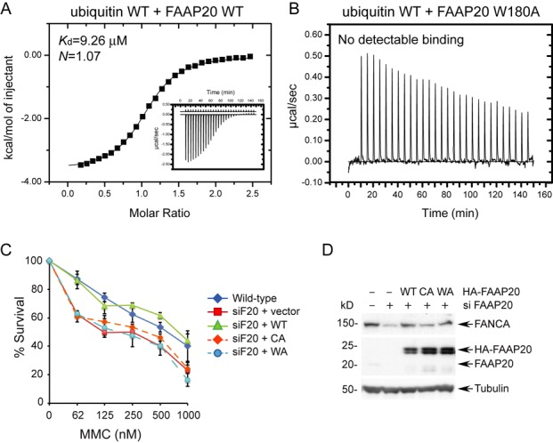 The C-terminal tryptophan residue (W180) of <t>FAAP20</t> outside the compact UBZ module plays an indispensable role in ubiquitin recognition by FAAP20 in vitro and in efficient ICL <t>DNA</t> repair in vivo . ( A ) Measurement of binding affinity between WT FAAP20 and WT ubiquitin by ITC. ( B ) Mutation of W180A in FAAP20 abolished ubiquitin binding in ITC measurements. ( C ) U2OS cells stably expressing siRNA-resistant FAAP20 wild-type, C147A and C150A (CA), or W180A (WA) were transfected with siRNA against FAAP20 (siF20) for 48 h, and cell viability was determined 6 days after the treatment of indicated doses of mitomycin C. ( D ) Immunoblot analysis of U2OS cells in (C) harvested 72 h after siRNA treatment.