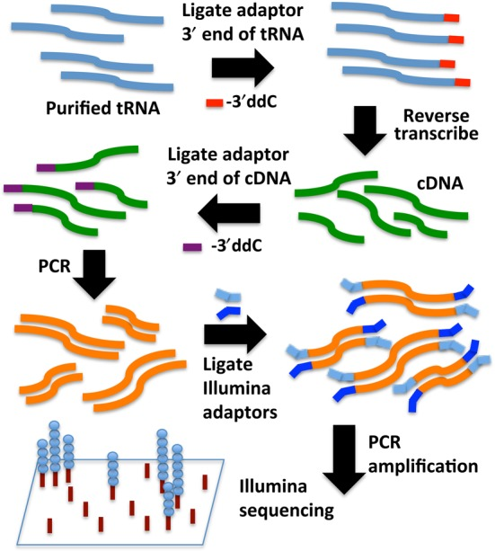 Two-step ligation method for the conversion of tRNA to cDNA. Bulk tRNAs extracted from S. cerevisiae are first 3′-end ligated with a DNA adaptor. After reverse transcription, a second DNA adaptor is ligated to the 3′-end of the resulting cDNA, and the resulting species are PCR amplified followed by standard Illumina sample preparation and analysis.