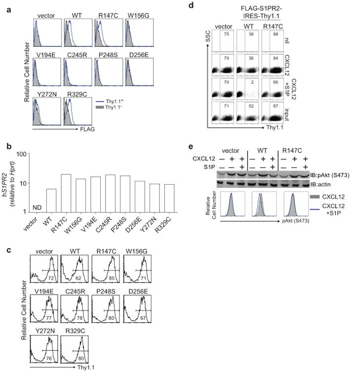 Lymphoma-associated mutations result in loss of expression and function of S1PR2 (a-c) Surface expression of FLAG (a), quantitative PCR of human S1PR2 (b) or Thy1.1 reporter expression (c) in mouse WEHI231 B lymphoma cells transduced as described in Fig. 1b . Shown in a are histograms of transduced cells (Thy1.1 + ) in blue and untransduced cells (Thy1.1 − ) in gray. 5 of 8 S1PR2 mutations showed loss of protein expression despite strong transcript and reporter expression. Loss of expression in these 5 mutants was likely a result of degradation of improperly folded proteins in the ER. (d) Representative FACS plots of transwell migration of WEHI231 cells transduced with vector, WT or R147C mutant S1PR2 to the indicated stimuli or the input sample. Numbers indicate % of cells positive for the Thy1.1 reporter. (e) WEHI231 cells stimulated as in Fig. 1d were analyzed for phosphorylation of Akt (pAkt S473) by Western blot or by intracellular FACS. Data in a and c are representative of 4 independent experiments and d and e of 3 independent experiments.