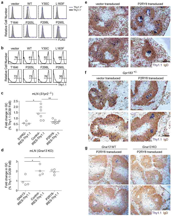 Human P2RY8 suppresses GC B cell growth and promotes B cell confinement to the GC in mice (a, b) P2RY8 mutations arising in GCB-DLBCL and BL disrupt receptor expression. Flag-tagged versions of six point mutant and the wild-type receptor were expressed in WEH231 B cells and surface expression examined by FLAG flow cytometry (a). The transduction efficiency of each construct was confirmed to be similar based on IRES-Thy 1.1 reporter expression (b). (c, d) Fold change in Thy1.1 reporter + GC relative to Fo B cells from mLN of chimeras described in Fig. 4d-e . (e-g) Immunohistochemical analysis of splenic sections from SRBC-immunized mice given Ig-transgenic (e), Gpr183 +/- (f) or Gna13 WT or KO (g) B cells transduced as in Fig. 4f and g and assessed 24 h after cell transfer. Data in e and g are additional examples of the experiments shown in Fig. 4f and g , respectively. Data in f are representative of 4 independent experiments. Scale bar is 200 μm in e-g. * P