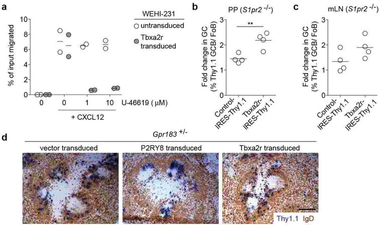 P2RY8-dependent suppression of GC B cell survival and promotion of B cell confinement to the GC niche is receptor specific (a) Transwell migration of WEHI231 cells transduced with retrovirus encoding the control Gα13-coupled receptor, Tbxa2r, toward CXCL12 (100 ng/mL) in the presence or absence of the thromboxane A2 analogue, U-46619. (b, c) Fold change in frequency of Thy1.1 reporter + GC relative to Fo B cells of PPs (b) or mLN (c) from BM chimeras reconstituted with S1pr2 KO BM transduced with empty vector (control) or Tbxa2r. (d) Immunohistochemical analysis of splenic sections from SRBC-immunized mice given Gpr183 +/- B cells transduced with empty vector, Tbxa2r or P2RY8, and assessed 24 h after cell transfer. Scale bar is 200 μm. Data in a and d are one experiment representative of 2. Data in b and c are from one experiment (n=4 in each group). ** P