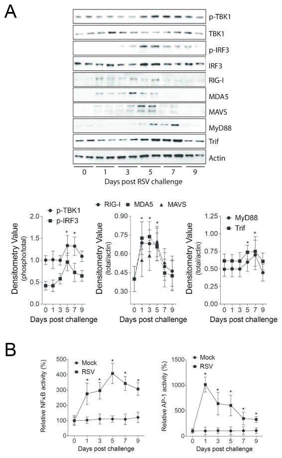 RSV induces the MAVS/MDA5/RIG-I/TLR3 pathways in mouse lungs. (A) Immunblots were performed to examine levels of MDA, RIG-I, MAVS, MyD88 and TRIF protein and IRF3 and TBK1 phosphorylation in lung tissue of RSV infected animals. Densitometry analysis was performed against actin or total protein (TBK1 and IRF3) levels for all samples from multiple immunoblots. (B) NFκB and AP-1 nuclear activity levels were determined in the lung tissue of mock and RSV treated mice. Graphs are represented as mean ± S.E.M, where each measurement performed 3 times on 12 animals/group. *Represents a p value less than 0.05 compared to mock treated mice on each corresponding day.