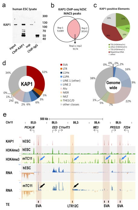KAP1 associates with recently emerged transposable elements a, Immunoblot incubated with anti-KAP1 antibody loaded with 1% input and eluates of KAP1-ChIP or IgG-ChIP derived from human ESC lysates. b , Diagram showing numbers of KAP1 peaks identified in two independent biological replicates and common peaks. c , Distribution of 9174 KAP1-ChIP-seq peaks over various DNA elements. d , Distribution of retrotransposon classes among KAP1-ChIP peaks from hESCs (left) or genome wide (right) e , KAP1 and H3K4me3 ChIP-seq and RNA-seq coverage tracks for a representative region on human chromosome 11 in hESCs (white-, grey-shaded) and TC11-mESCs (yellow-shaded). Blue arrows: de-repressed retrotransposons; black arrows: re-activated transcription; Red vertical shading: reactivated SVAs; orange shading: reactivated LTR12C. Blue and tan in RNA-seq tracks indicate positive and negative strand transcripts, respectively. Note that while the majority of SVAs display aberrant H3K4me3 signal, for unclear reasons not all SVAs display aberrant transcription in TC11-mESCs. sup: supernatant; Rep: biological replicate; TSS: transcription start site.