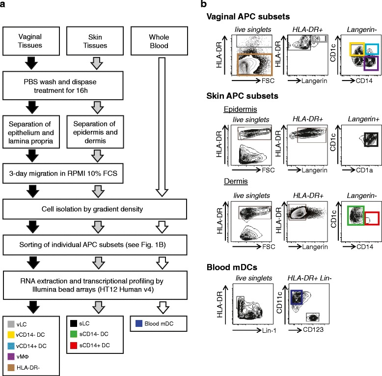 Isolation protocols for the eight antigen-presenting cell populations studied. (a) Workflow representing the protocol for isolation of APCs from skin, vagina and blood. (b) Gating strategy for FACS sorting of vaginal APC subsets (upper panels), skin DCs (middle panels) or blood mDCs (lower panels). mDC, myeloid dendritic cell; FCS, fetal calf serum; PBS, phosphate-buffered saline; s, skin; v, vaginal.