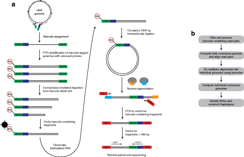 Outline of BAsE-Seq methodology. (a) The goal of library preparation is to attach unique barcodes to full-length HBV genomes, and then juxtapose the assigned barcode to random overlapping fragments of the viral genome. A unique barcode is first assigned to each HBV genome using PCR. The two barcode assignment primers contain HBV-specific sequences on their 3′ ends, universal sequences (green) on their 5′ ends, and one of the primers also contains a random barcode (blue). Subsequently, barcode-tagged genomes are clonally amplified by PCR using primers that anneal to Uni-A and Uni-B and that add a biotin label (Bio) to the barcode-proximal end. The barcode-distal end is digested with exonuclease to obtain a broad size distribution of nested deletion fragments. Barcode-containing fragments are purified using Dynabeads, and intramolecular ligation of these fragments yields a library of circular molecules in which different regions of each HBV genome are juxtaposed to its assigned barcode. The circularized molecules are used as a template for random fragmentation and adapter tagging following the Nextera protocol. During PCR enrichment, a set of primers is used to incorporate Illumina-specific paired-end adapters and enrich for barcode-tagged molecules during sequencing. (b) Bioinformatics workflow. Barcode-containing read pairs are used to obtain a 'bulk consensus' genome by iterative alignment of read pairs against a GenBank sequence. Aligned read pairs are de-multiplexed into individual genomes based on barcode identity. Consensus base calls are extracted to obtain 'individual consensus' genomes and SNVs are identified in each genome to construct haplotypes.