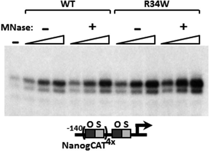 MNase digestion moderately increases DKC1 coactivator activity. Mock (−) or MNase-treated (+) WT and Nop10 R34W DKC1 complexes are assayed in in vitro transcription reactions (over a fourfold concentration range) supplemented with OCT4, SOX2, recombinant XPC complex and SCC-B. DOI: http://dx.doi.org/10.7554/eLife.03573.011