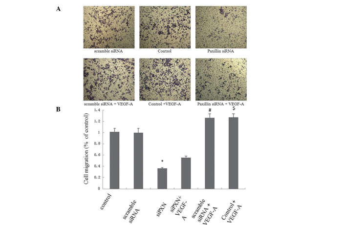 Knockdown of paxillin inhibits the VEGF-A-induced migration of HUVECs. Cells were cultured on plates following either mock-transfection or transfection with scramble siRNA or siPXN-1, respectively. HUVECs (2×10 5 cells) were harvested and seeded into Transwell inserts. VEGF-A (20 ng/ml) was added to the lower well of a Boyden chamber. (A) Representative photomicrographs of the HUVECs in the lower well of the Boyden chamber stained with crystal violet. Magnification ×100. (B) Cell migration of the HUVECs. Cell migration was quantified by counting the number of migrated cells and expressed as a percentage of the cell migration in the control. Three independent experiments were performed. * P