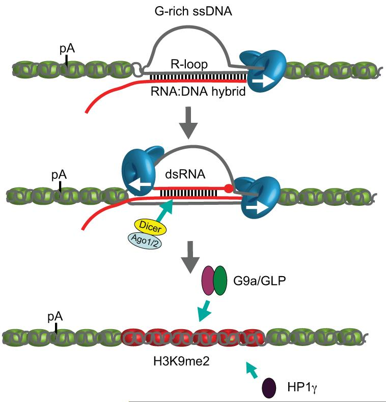 Model for how R-loops and RNAi-dependent H3K9me2 chromatin mediate pause-dependent transcriptional termination in mammalian genes Mammalian genes possessing pause elements downstream of their PAS form R-loops in termination regions. This facilitates generation of an antisense transcript that hybridises with the sense transcript to form dsRNA. This triggers recruitment of the RNAi factors, Dicer, Ago1 and Ago2. G9a/GLP HKMTs and HP1γ are then recruited forming and maintaining H3K9me2 repressive marks. R-loops and H3K9me2 facilitate Pol II pausing prior to termination. DNA is shown as grey lines and RNA as a red line. Points of contact between the DNA strand and nascent RNA indicates R-loop formation, whereas points of contact between sense and antisense RNA indicate dsRNA formation. Pol II is shown as a blue icon with arrow indicating transcription direction. Nucleosomes are shown in green except over H3K9me2 region where they are coloured red.