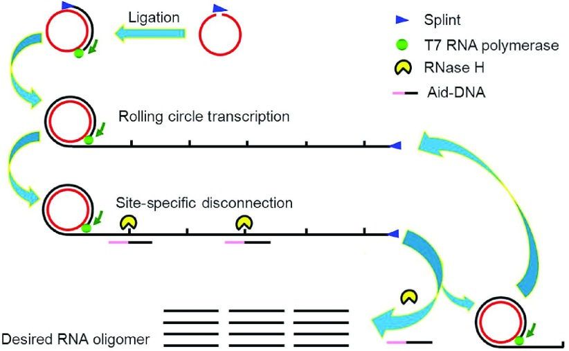 Strategy for rolling circle transcription (RCT) site-specific disconnection (SSD) synthesis . cDNA is circularized to form a circular DNA template, and long RNA strands are generated by RCT consisting of tandem repeats of desired RNA. With the help of Aid-DNA, RNase H disconnects the transcript to generate thousands of copies of the desired RNA.