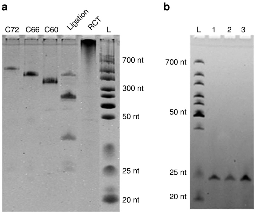 Synthesis of the mir-16 oligomer using rolling circle transcription (RCT) site-specific disconnection (SSD) . ( a ) Ligation products of the cDNA and transcript of the RCT reaction on circular cDNA. C72, C66, and C60 are synthesized circular ssDNA oligomers used as markers; Lane L, RNA ladder. Samples were separated by 14% denaturing PAGE (8 mol/l urea). ( b ) Analysis of synthesized mir-16. Lane 1, chemically synthesized mir-16; lane 2, RNase H was absent during RCT; lane 3, RNase-H (2.5 U/ml) was present during RCT. Samples were separated by 20% denaturing PAGE (8 mol/l urea). Other conditions used for RCT were: 0.5 μmol/l cDNA, 2.5 U/ml RNA polymerase, 37 °C, 2 hours; other conditions used for SSD were, 125 U/ml RNase H, 1.0 μmol/l Aid-DNA, 37 °C, 2 hours.