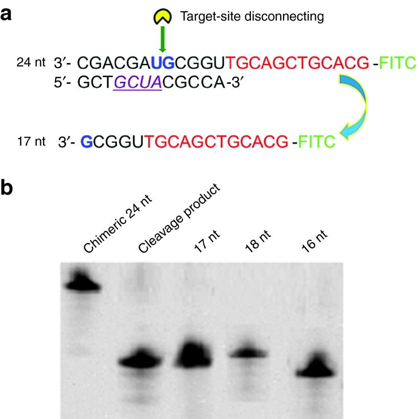 "Determination of the cleavage site by site-specific disconnection (SSD) . ( a ) Sequences of the fluorescein isothiocyanate (FITC)-labelled DNA/RNA chimeric oligomer. The red text indicates the DNA sequence, and the other text indicates the RNA portion that is complementary to the Aid-DNA (purple, italicized, underlined characters indicate the sequence of 2′-O-methyl-modified nucleotides). The expected cleavage site ""UG"" was shown by the green arrow. ( b ) Analysis of the cleavage product. Compared to the standard samples, the length of cleavage product was determined to be 17 nt. Other conditions used were 1.0 μmol/l substrate and Aid-DNA-16-1, 125 U/ml RNase H, 37 °C, 40 minutes, 20% denaturing urea polyacrylamide gel electrophoresis (PAGE)."