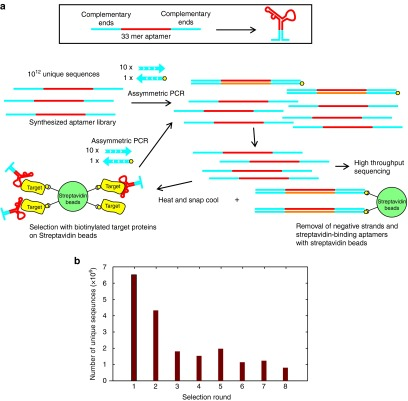 Selection of DNA aptamers against eIF4e using a rapid selection procedure. ( a ) A library composed of a looped 33-mer random sequence is amplified tenfold by asymmetric PCR with unmodified forward primer and biotinylated reverse primer before negative selection with streptavidin beads and positive selection with eIF4e beads followed by repeating amplification with asymmetric PCR. ( b ) The number of unique sequences identified by high throughput sequencing decreases with increasing rounds of selection. Each round generated between 2 and 3 million valid reads.