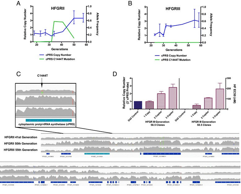 Genetic adaption at the cPRS locus accounts for acquisition of halofuginone resistance after generation 32 in HFGRII and HFGRIII. (A,B)  Quantitative PCR copy number and allele type of uncloned HFGRII (A) and HFGRIII (B) revealed parasites with mutant  cPRS  alleles that failed to proceed to fixation in either population in favor of clones with wild-type amplified loci. In HFGRII, mutant parasite clones reached a maximum allele frequency of 0.57 and were competed out by those with amplified wild-type loci. In HFGRIII, parasite clones with mutant  cPRS  loci were undetectable. Neither  cPRS  mutation nor amplification reached sufficient allele frequency before the 34th (HFGRII) or 32nd (HFGRIII) generation after selection with 42 nM halofuginone (60× EC50).  (C)  Though HFGRII and HFGRIII have different amplification breakpoints as illustrated by the next-generation sequencing read pileups, both include wild-type  cPRS  (PF3D7_1213800) alleles. The HFGRII 41st generation pileup confirms that the  cPRS  locus is unamplified and reflects a mixture of wild-type and mutant haploid parasites.  (D)  The natural allelic series of HFGRIII generation 58.5 clones with 1, 2, and 3 copies confirms that amplification of the  cPRS  locus confers resistance to halofuginone. Copy number variation determined by quantitative PCR of three clones investigated for sensitivity to halofuginone using the 3′ cPRS assay. SYBR growth dose-response assay confirms that more cPRS copies desensitize parasites to halofuginone. Relative copy number in (A,B,D) was determined with SerRS as an endogenous control to a single  cPRS  copy Dd2 parasite. Allele frequencies were determined from whole-genome sequencing. Read pileups in (C) were generated from aligned reads generated on an Illuminia HiSeq 2000 and visualized with IGV v 2.3.32. Error bars in (D) denote standard deviation.