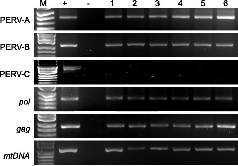 Transcriptional activity of PERV. Here we demonstrate PERV-A, PERV-B, gag, pol and mtDNA were detected by RT-PCR from PBMC of xeno-1 animals except PERV-C. M, 100 bp DNA ladder; +, positive control; −, negative control; lanes 1–6 indicates different pig samples.