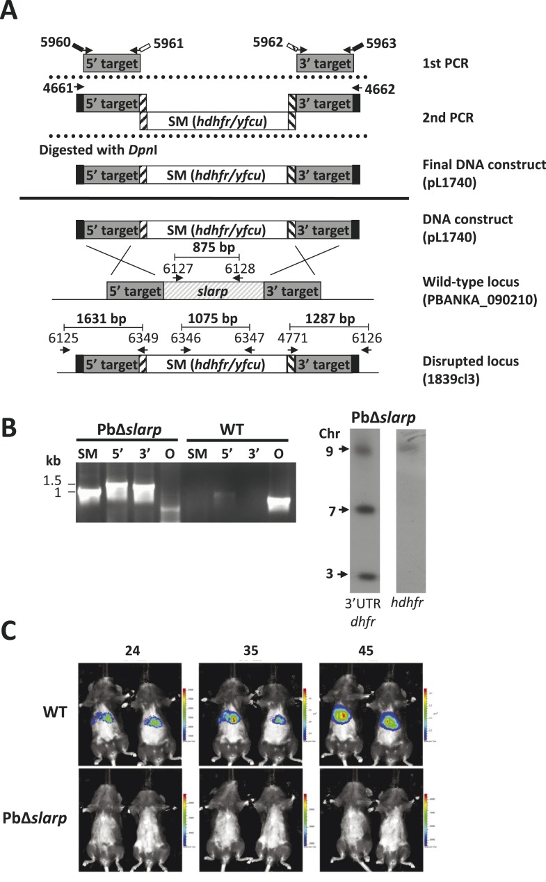 Generation and genotype analyses of P. berghei mutant PbΔ slarp- a . ( A ) Generation of mutant PbΔ slarp -a. For PbΔ slarp -a, the DNA-construct pL1740 was generated containing the positive/negative selectable marker cassette hdhfr / yfcy . This construct was subsequently used to generate the mutant PbΔ slarp -a (1839cl3) in the Pb GFP-Luc con reference line. See Supplementary file 2A for the sequence of the primers. ( B ) Diagnostic PCR and Southern analysis of Pulse Field Gel (PFG)-separated chromosomes of mutant Δ slarp -a confirming correct disruption of the slarp -locus. See Supplementary file 2A for the sequence of the primers used for the selectable marker gene (SM); 5′-integration event (5′); 3′-integration event (3′); and the slarp ORF. Mutant PbΔ slarp -a has been generated in the reference P. berghei ANKA line Pb GFP-Luc con which has a gfp-luciferase gene integrated into the silent 230p locus (PBANKA_030600) on chromosome 3. For Southern analysis, PFG-separated chromosomes were hybridized using a 3′UTR pbdhfr probe that recognizes the construct integrated into P. berghei slarp locus on chromosome 9, the endogenous locus of dhfr/ts on chromosome 7, and the gfp-luciferase gene integrated into chromosome 3. In addition, the chromosomes were hybridized with the hdhfr probe recognizing the integrated construct into the slarp locus on chromosome 9. ( C ) Real time in vivo imaging of Δslarp luciferase-expressing liver-stage parasites in C57BL/6 mice at 24, 35, and 45 hr post-infection. C57BL/6 mice were IV injected with either 5 × 10 4 Pb -GFPLuc con sporozoites (n = 5), resulting in a full liver infection (upper panel: representative image of WT infected mice), or with 5 × 10 5 Pb Δslarp-a sporozoites (n = 5) (lower panel: representative image of Pb Δslarp-luc infected mice). DOI: http://dx.doi.org/10.7554/eLife.03582.006