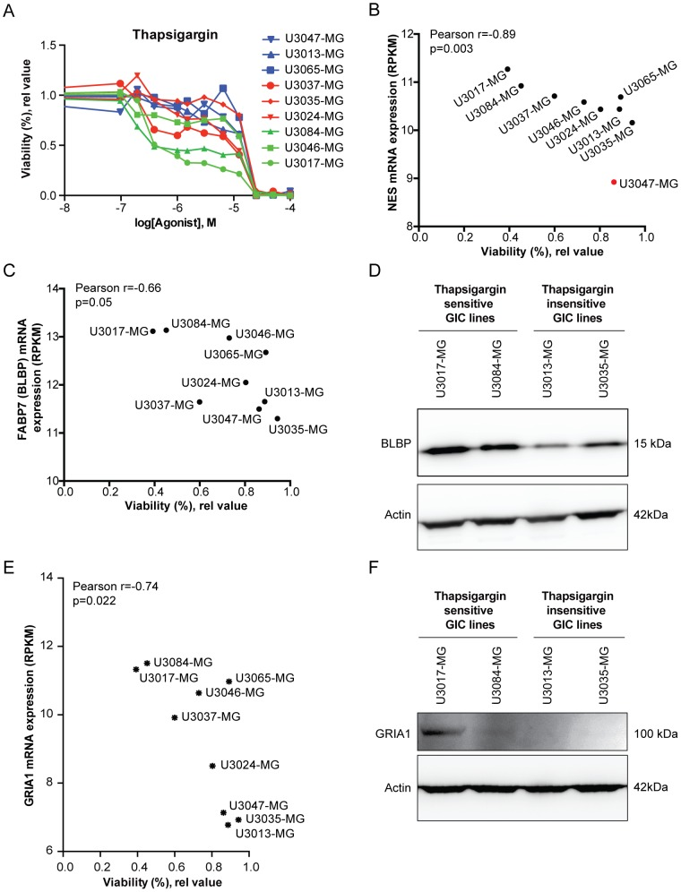 Genome wide correlation analysis between Ca 2+ drug sensitivity and gene expression. (A) Nine novel GIC lines were subjected to Thapsigargin dose response analysis (0.1–100 µM), showing different response to moderate drug doses. (B, C) Plot of correlation between cell viability after Ca 2+ drug exposure (Thapsigargin, 1 uM) and (B) NES and (C) <t>FABP7/BLBP</t> mRNA expression. U3047-MG was considered an outlier in the NES graph (marked in red) and excluded form the analysis. (D) Western blot analysis showing BLBP (FABP7) protein expression in selected Thapsigargin sensitive (U3017-MG and U3084-MG) and less sensitive (U3013-MG and U3035-MG) cell lines, with β-actin as loading control. (E) Plot of correlation between cell viability after Ca 2+ drug exposure (Thapsigargin, 1 uM) and <t>GRIA1</t> mRNA expression. (F) Western blot analysis showing GRIA1 protein expression in selected Thapsigargin sensitive (U3017-MG and U3084-MG) and less sensitive (U3013-MG and U3035-MG) cell lines. β-actin was used as loading control.
