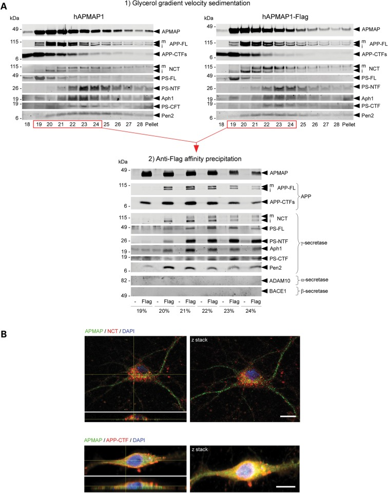 APMAP interacts physically and co-localizes with γ-secretase, APP-FL and APP-CTFs. ( A ) Velocity co-sedimentation and co-immunoprecipitation of APMAP with the γ-secretase complex, APP-FL and APP-CTFs. Total membrane protein extracts from HEK-APPSwe cells transiently overexpressing hAPMAP1 or hAPMAP1-Flag were sedimented on an 18–28% glycerol gradient containing 0.1% CHAPSO. Each fraction was collected and analyzed by western blot for APMAP1, APP-FL, APP-CTFs and mature and immature γ-secretase (top panels). Next, proteins interacting with hAPMAP1-Flag (Flag) were affinity-precipitated in the fractions labeled in red with M2 anti-Flag affinity resin (lower panel). Untagged APMAP (hAPMAP1, also labeled '-' in the figure) served as a control for the specific co-precipitation. ( B ) Immunohistochemical co-localization of APMAP (green) with the γ-secretase subunit Nicastrin (red, upper panel) or APP (red, lower panel) in 14 days in vitro mouse primary cortical neurons. Scale bar: 10 µm. Both confocal images (left panels) and Z-stack projections (right panels) are shown with a microscope objective magnification of 40×. For comparison, un-merged images for APMAP, NCT, APP-CTFs and DAPI are shown in Supplementary Material, Fig. S10 . mNCT and iNCT, mature and immature Nicastrin.