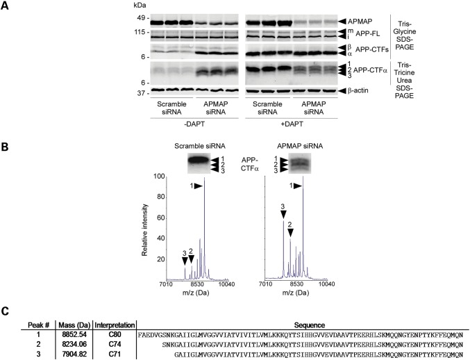 APMAP controls the levels and the stability of APP-CTFs. ( A ) siRNA knockdown of APMAP in HeLa cells quantitatively and qualitatively impacts APP-CTFs. Reduced APMAP expression correlates with increased APP-CTFs and the formation of three forms of APP-CTFα (CTFα1, α2 and α3), as revealed on a Tris-Tricine urea gel (left panel). This phenotype is further amplified in the presence of 1 µ m GSI DAPT (right panel). Biological triplicates are shown. ( B ) MALDI-TOF mass spectrometric analysis of APP-CTFα1, α2 and α3 immunoprecipitated from DAPT-treated cells with siRNA-reduced APMAP expression. ( C ) Peptide sequences of N-terminal truncated APP-CTFα1 (C80), -CTFα2 (C74) and -CTFα3 (C71).