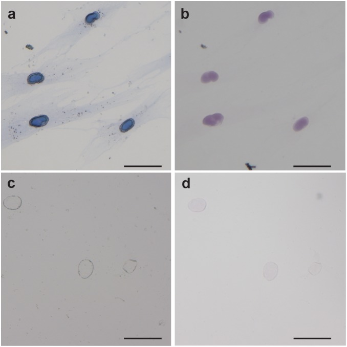 Compatibility of Polymer Dye Labeling with Vectashield mounting medium. Polymer Dye Labeling of nuclear pore complex imaged (a) dry or (b) in Vectashield hardset mounting medium. Polymer coated nuclei without Evans Blue dye imaged (c) dry or (d) in Vectashield hardset mounting medium. Scale bars are 50 µm.