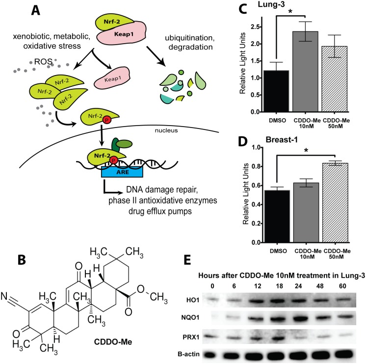 CDDO-Me activates the Nrf2 antioxidant pathway in epithelial cells. (A) Nrf2 Pathway: Nrf2 is a transcription factor normally bound by its cytoplasmic repressor Keap1, which acts as a molecular oxidative sensor and marks Nrf2 for degradation. When there is an abundance of reactive species in the cells, Nrf2 accumulates in the cytoplasm, eventually undergoing various phosphorylation events to translocate to the nucleus and bind to Antioxidant Response Elements (AREs) in the genome, resulting in the transcription of multiple antioxidative and cyto-protective genes. CDDO-Me acts by facilitating the dissociation between Keap1 and Nrf2, leading to Nrf2 activation. (B) Chemical structure of CDDO-Me: Oleana-1,9(11)-dien-28-oicacid, 2-cyano-3,12-dioxo-, methyl ester (RTA-402; bardoxolone-methyl). (C, D) CDDO-Me increases expression of ARE-driven luciferase 18 hours after drug treatment in HBEC 3KT and HME1, respectively. Firefly ARE-luciferase normalized to renilla control (RLU). Mean ± SEM of 6 replicates, *p