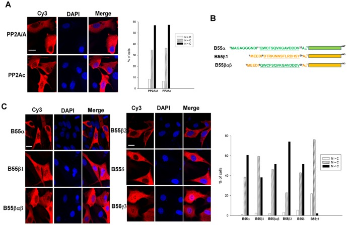 Subcellular distribution of PP2A subunits. ( A ) NIH3T3 cells were transiently transfected with pCA2-6myc-PP2A/Aα or pCMV-HA-PP2Acα-YC, and expression of the exogenous Aα and Cα subunits was assessed by indirect immunofluorescence using anti-Myc tag and anti-HA antibodies, respectively, in conjunction with Cy3-conjugated secondary antibody. ( B ) Diagrams of B55α, B55β, and the B55βαβ chimera mutant are shown. ( C ) NIH3T3 cells were transiently transfected with pcDNA3.1/Zeo(+)-B55α-HA, pcDNA3.1/Zeo(+)-B55β-HA, pcDNA3.1/Zeo(+)-B55βαβ-HA, pcDNA3.1/Zeo(+)-B55β2-HA, pcDNA3.1/Zeo(+)- B55δ-HA, or pcDNA3.1/Zeo(+)-B56γ3-HA. Expression of various exogenous B isoforms was assessed by indirect immunofluorescence using the anti-HA antibody and Cy3-conjugated secondary antibody. DAPI was applied for staining of nuclei. Scale bars: 20 µm. Cells with different distribution patterns were scored as follows: predominantly nuclear (N > C), homogenously distributed in both nucleus and cytoplasm (N∼C), and predominantly cytoplasmic (N