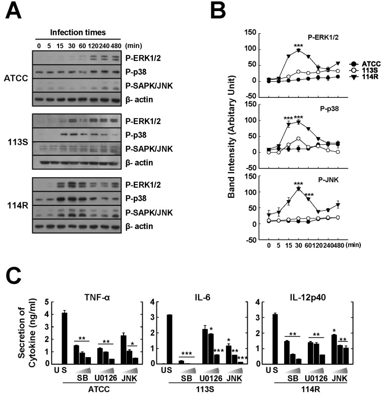 Mycobacterium scrofulaceum 114R-induced pro-inflammatory cytokine production is modulated through MAPK signaling in BMDMs. (A) Kinetics of phospho-RK1/2, -p38, and -SAPK/JNK in BMDMs infected with M. scrofulaceum -ATCC, -113S, and -114R (MOI=5). The cell lysates were collected at the indicated times and phosphorylated MAPKs were examined by western blot analysis. β-ctin was used as a loading control. (B) Expression levels were normalized against those of β-actin (C) BMDMs were pretreated with p38 inhibitor (SB203580; 1, 5, and 10µM), MEK-1 inhibitor (U0126; 5, 10, and 20µM), and JNK inhibitor (JNK; 5, 10, and 20µM) for 45 min prior to infection with different M. scrofulaceum strains (MOI=5). The culture supernatants were harvested at 18 h, and the production of TNF-α , IL-6, and IL-12p40 cytokines was measured by ELISA. The data show the mean±SD of three independent experiments. Significant differences: # p