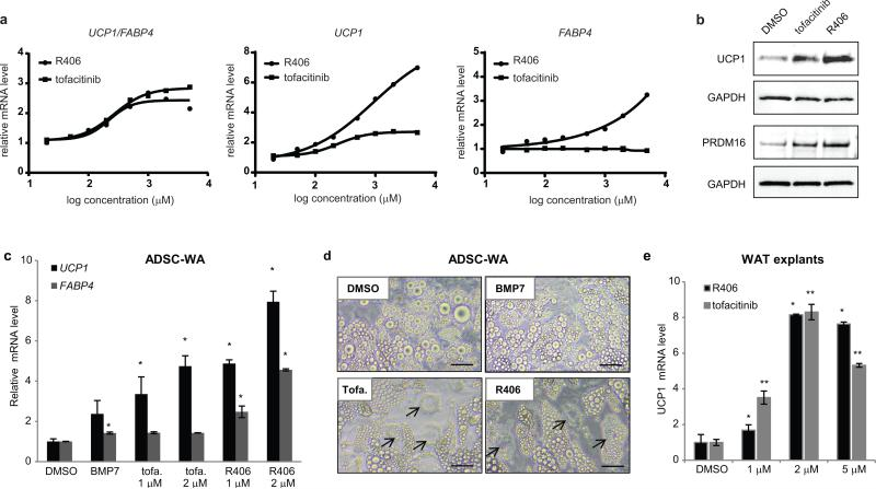 Validation of tofacitinib and R406 browning compounds in primary adipocytes a) bDNA analysis of dose response with tofacitinib and R406. At high doses, R406 increases both UCP1 and FABP4 expression but UCP1 / FABP4 remains above 2. Values represent the mean of two biological replicates. b) Western blot analysis showing that up-regulation of UCP1 and PRDM16 protein levels correlates with up-regulation of UCP1 mRNA by tofacitinib and R406. c) bDNA analysis showing that tofacitinib (tofa.) and R406 increase UCP1 expression in human primary adipocytes. ADSC: Adipose tissue-derived stromal cells. Values are mean ± s.d. of n = three biological replicates and differences from DMSO are significant for * P