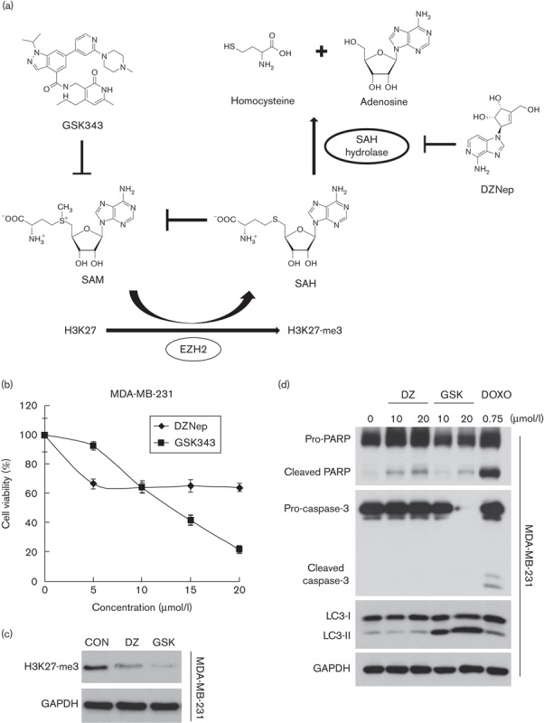 Effects of DZNep and GSK343 on the cell viability of MDA-MB-231 cells. (a) Chemical structures of DZNep and GSK343. (b) MDA-MB-231 cells were treated with different doses of DZNep or GSK343 for 72 h, and cell viability was analyzed using an MTT assay. (c) MDA-MB-231 cells were treated with 20 μmol/l DZNep or 10 μmol/l GSK343 for 72 h, and whole-cell lysates were subjected to a western blot analysis using antibodies against H3K27-me3 or GAPDH. (d) MDA-MB-231 cells were treated with 10 and 20 μmol/l DZNep or GSK343, or 0.75 mol/l doxorubicin (DOXO) for 72 h, and whole-cell lysates were subjected to a western blot analysis using antibodies against PARP1, caspase-3, LC3B, or GAPDH. DZNep, 3-deazaneplanocin A; EZH2, enhancer of zeste homolog 2; MTT, 3-(4,5-dimethylthiazol-2-yl)-2,5-diphenyl tetrazolium bromide; SAH, S -adenosyl- l -homocysteine; SAM, S -adenosyl- l -methionine.