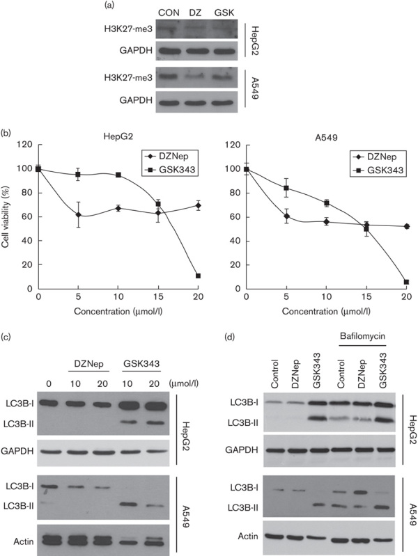 Effects of DZNep and GSK343 on the cell viability and autophagy of HepG2 and A549 cells. (a) HepG2 and A549 cells were treated with 20 μmol/l DZNep or 10 μmol/l GSK343 for 72 h, and whole-cell lysates were subjected to a western blot analysis using antibodies against H3K27-me3 or GAPDH. (b) HepG2 and A549 cells were treated with different doses of DZNep or GSK343 for 72 h, and the cell viability was analyzed using an MTT assay. (c) HepG2 and A549 cells were treated with 10 and 20 μmol/l DZNep or GSK343 for 24 h, and whole-cell lysates were subjected to a western blot analysis using antibodies against LC3B, GAPDH, or β-actin. (d) HepG2 and A549 cells were treated with 20 μmol/l DZNep or 10 μmol/l GSK343 for 24 h, and 20 nmol/l bafilomycin was added 4 h before cells were harvested. Whole-cell lysates were subjected to a western blot analysis using antibodies against LC3B, GAPDH, or β-actin. DZNep, 3-deazaneplanocin A; MTT, 3-(4,5-dimethylthiazol-2-yl)-2,5-diphenyl tetrazolium bromide.