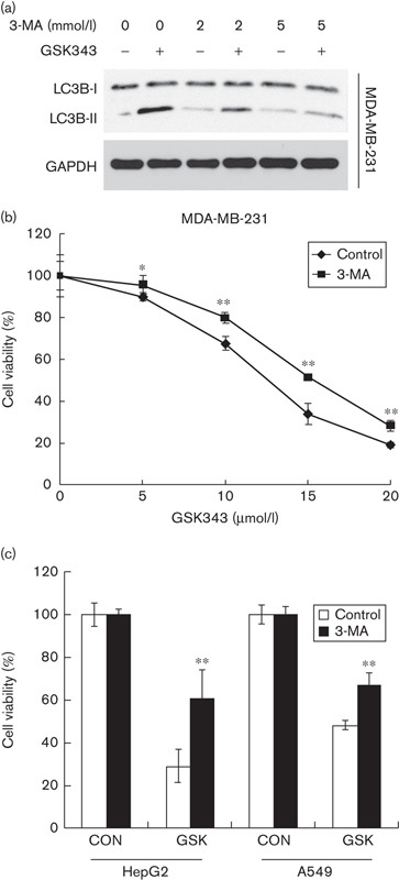 Effect of 3-MA on GSK343-induced autophagy and cytotoxicity of MDA-MB-231 cells. (a) MDA-MB-231 cells were pretreated with 2 and 5 mmol/l 3-MA for 1 h and then exposed to 10 μmol/l GSK343 for 24 h. Whole-cell lysates were subjected to a western blot analysis using antibodies against LC3B or GAPDH. (b) MDA-MB-231 cells were pretreated with 2 mmol/l 3-MA for 1 h and then exposed to various doses of GSK343 for 72 h. Cell viability was analyzed using an MTT assay. Cell viability was analyzed using an MTT assay. * P
