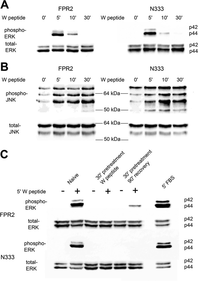 MAPK signaling of FPR2 and N333-stop. A  and  B , HEK293 cells stably expressing either N-terminally FLAG-tagged WT FPR2 or N333-stop ( N333 ) were serum-starved 4 h prior to experimentation. Cells were untreated or stimulated with 500 n m  W peptide for 5, 10, and 30 min, lysed, separated by SDS-PAGE, and probed for phospho-ERK 1/2 ( A ) or JNK ( B ), and then stripped and reprobed for total ERK 1/2 and JNK.  C , for resensitization, phospho-ERK 1/2 was investigated where cells were either untreated, stimulated for 5 min, pretreated with agonist for 30 min, and then re-challenged with vehicle or drug (desensitized) or pretreated for 30 min, washed, and allowed to recover for 90 min at 37 °C before a final re-challenge for 5 min with agonist or vehicle (resensitization and recycling). Representative blots are shown of at least three independent experiments.