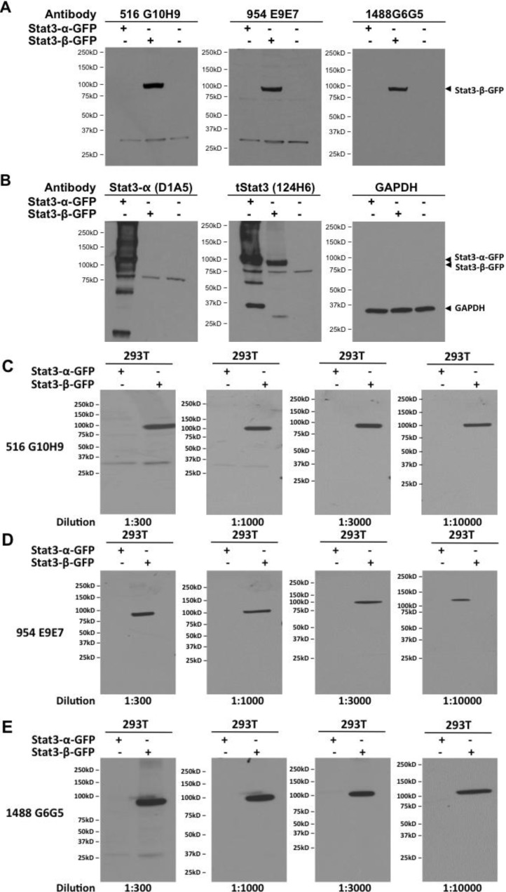 Stat3β monoclonals specifically detect Stat3β protein in cell protein extracts. Plasmids encoding fusion proteins Stat3α-GFP and Stat3β-GFP were transiently transfected into HEK 293T cells. Extracts (100 µg protein) from mock or plasmid transfected (48 h) cells were separated by SDS-PAGE, transferred to nitrocellulose membrane and replicate blots probed for ( A ) Stat3β using the three monoclonal antibodies 516 G10H9, 954 E9E7 and 1488 G6G5 and ( B ) Stat3α (Clone D1A5), total Stat3 (clone 124H6) and GAPDH and visualized by chemiluminiscence. Various dilutions (ranging from 1:300 to 1:10,000) of the three Stat3β monoclonal antibodies 516 G10H9 ( C ), 954 E9E7 ( D ) and 1488 G6G5 ( E ) were used to probe 100 µg protein from 293T cells transiently transfected with plasmids encoding fusion proteins Stat3α-GFP and Stat3β-GFP and visualized by chemiluminiscence.