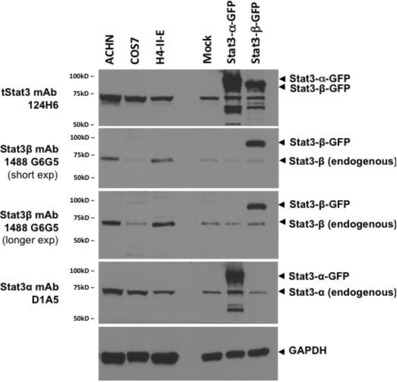 Stat3β monoclonal antibody can detect endogenous Stat3β in lysates from cell lines expressing various levels of Stat3β. Lysates (100 µg of total protein) from cell lines ACHN, COS7, and H4IIE (lanes 1–3) were separated by SDS-PAGE, transferred to nitrocellulose membrane and replicate blots probed for total Stat3 (clone 124H6), Stat3β (516G10H9), Stat3α (Clone D1A5) and GAPDH and visualized by chemiluminiscence. Lysates (30 µg of protein) from 293T cells, mock transfected (transfection reagent alone) or transiently transfected with plasmids encoding fusion proteins Stat3α-GFP and Stat3β-GFP were used as controls (lanes 5–7).