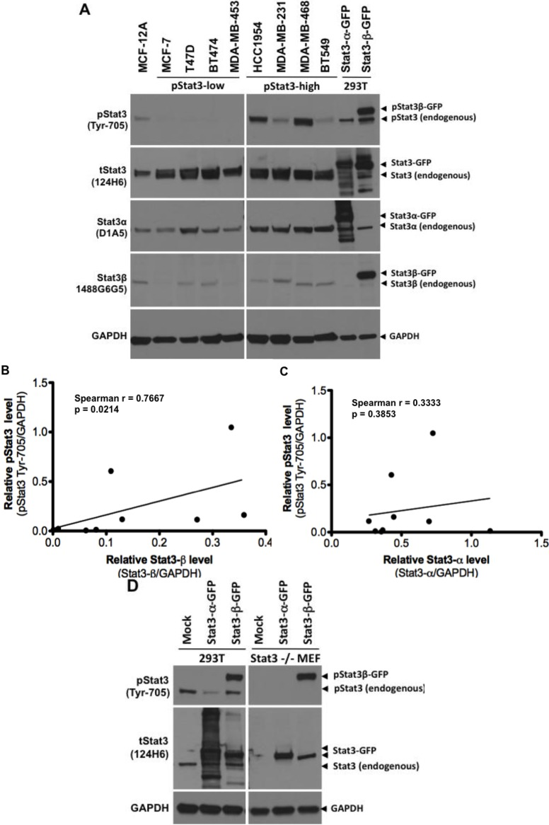 Stat3β overexpression correlates with Stat3 phosphorylation in breast cancer cell lines. In panel ( A ), lysates (100 µg protein) from normal breast epithelial cells MCF-12A, and breast cancer cell lines MCF-7, T47D, BT-474, MDA-MB 453, HCC1954, MDA-MB-231, MDA-MB-468, and BT549 cells were subjected to SDS-PAGE, transferred to nitrocellulose membrane and probed for total pStat3 (Tyr-705, clone D3A7), tStat3 (clone 124H6), Stat3α (clone D1A5), Stat3β (1488 G6G5) and GAPDH. Lysates (30 µg of protein) from 293T cells, mock transfected (transfection reagent alone) or transiently transfected with plasmids encoding fusion proteins Stat3α-GFP and Stat3β-GFP were used as controls (lanes 10–11). Stat3β and GAPDH levels were quantified by densitometry and the GAPDH-normalized pStat3 levels plotted as a function of their corresponding Stat3β levels ( B , Spearman r = 0.7667, p