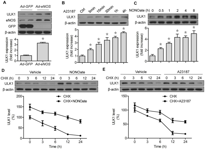 NO stabilizes and upregulates ULK1 protein expression. (A) HUVECs were transfected with GFP or eNOS adenovirus for 48 h; (B) HUVECs were treated with A23187 (1 µM) for the indicated time; (C) HUVECs were treated with NONOate (50 µM) for the indicated time; (D) HUVECs were treated with CHX (5 µM) for the indicated time, followed by incubation of NONOate (50 µM) for 4 h; (E) HUVECs were treated with CHX (5 µM) for the indicated time, followed by incubation of A23187 (1 µM) for 4 h. The western blots are representative of three independent experiments. *represents p