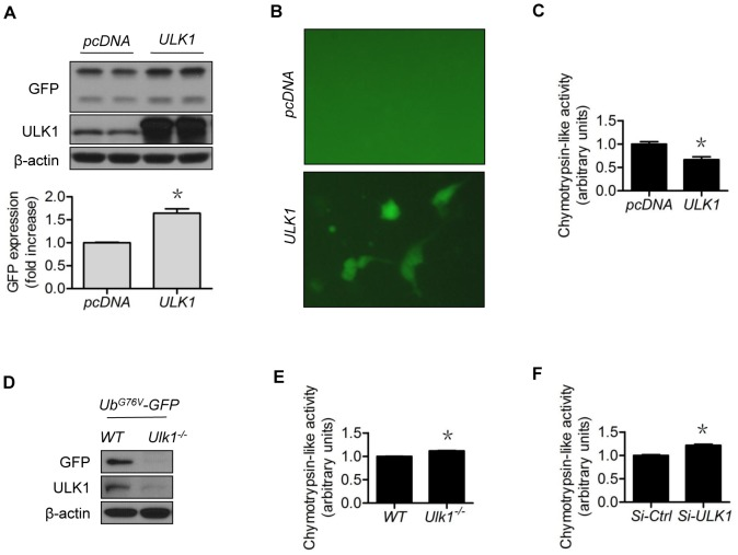 <t>ULK1</t> modulates 26S proteasome functionality. GFPu-1 cells were transfected with (A) control or ULK1 plasmid for 48 h, and (B) the accumulated GFP fluorescence in ULK1 plasmid-expressing cells was captured with a fluorescent microscope; (C) HEK293 cells were transfected with control or ULK1 plasmid for 48 h and chymotrypsin-like activity was measured; (D) The Ulk1 −/− and WT MEF were transfected with Ub G76V -GFP plasmid for 48 h; (E) Chymotrypsin-like activity was measured in the Ulk1 −/− and WT MEF; (F) HUVECs were transfected with control or ULK1 SiRNA for 48 h and chymotrypsin-like activity was measured. The western blots are representative of three independent experiments. *represents p